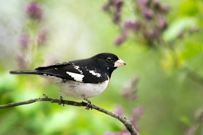 Photograph - Spring Songbird by Christina Rollo