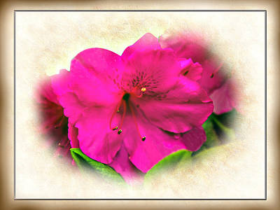 Photograph - Spring Splendor - Azalea Floral by Barry Jones