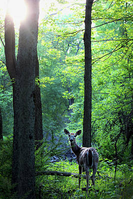 Spring Sunset On White-tailed Doe Art Print by Codee Hart