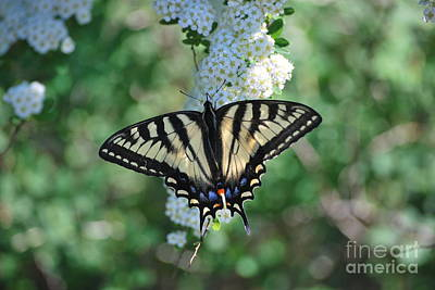Photograph - Spring Swallowtail by Terri Oberg