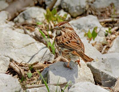 Photograph - Spring Swamp Sparrow by LeeAnn McLaneGoetz McLaneGoetzStudioLLCcom