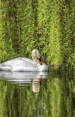 Photograph - Spring Swan Reflections  by Cliff Norton