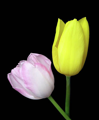 Photograph - Spring Time Tulips by Johanna Hurmerinta