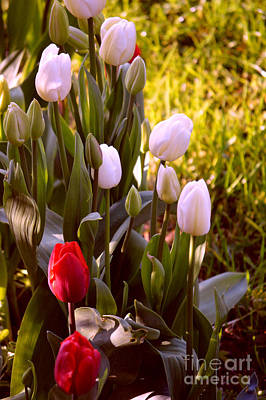 Photograph - Spring Time Tulips by Susanne Van Hulst