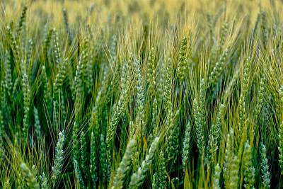Photograph - Spring To Summer Wheat by Lynn Hopwood