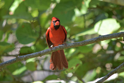 Photograph - Spring Training Cardinal by William Tasker