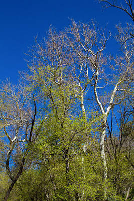 Photograph - Spring Trees At Oak Creek by Bonnie Follett