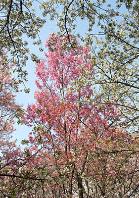 Sakura Photograph - Spring Trees by Lise-Lotte Larsson