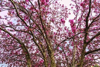 Photograph - Spring Trees Pink Delight by James BO Insogna