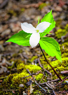 Photograph - Spring Trillium by LeeAnn McLaneGoetz McLaneGoetzStudioLLCcom