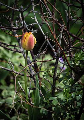Photograph - Spring Tulip Bud by Kathleen Scanlan
