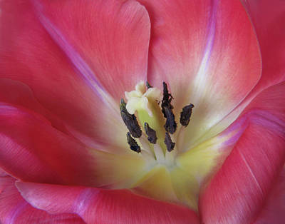Photograph - Spring Tulip by David and Carol Kelly