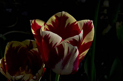 Firefighter Patents Royalty Free Images - Spring Tulip  Royalty-Free Image by Rob Mclean