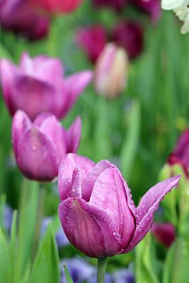 Photograph - Spring Tulips 86 by Pamela Critchlow