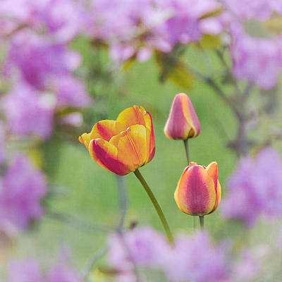 Photograph - Spring Tulips And Azaleas by Patti Deters