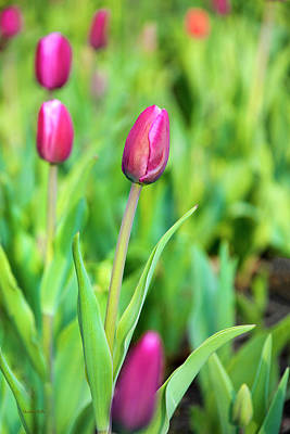 Photograph - Spring Tulips by Christina Rollo