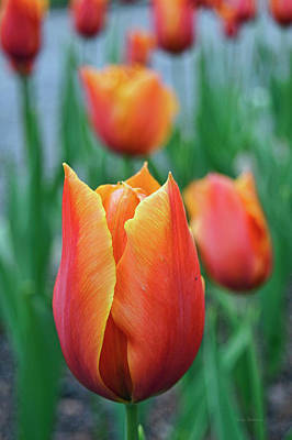 Photograph - Spring Tulips by Cricket Hackmann
