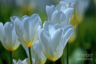 Photograph - Spring Tulips by Deb Halloran