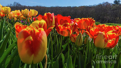 Photograph - Spring Tulips In Rhode Island by New England Photography