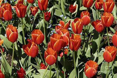 Photograph - Spring Tulips by John  Mitchell