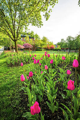 Photograph - Spring Tulips - Laconia by Robert Clifford