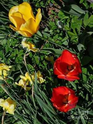 Photograph - Spring Tulips by Marcia Lee Jones