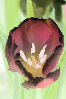 Photograph - Spring Tulips - Photopower 3069 by Pamela Critchlow