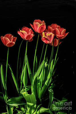 Photograph - Spring Tulips by Robert Bales