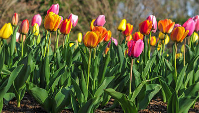Photograph - Spring Tulips  by Terry DeLuco