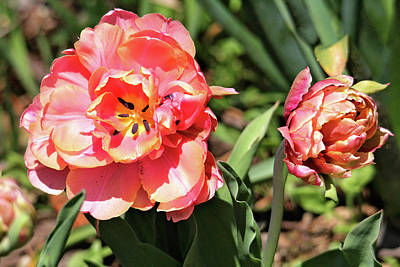 Photograph - Spring Tulips by Trina Ansel