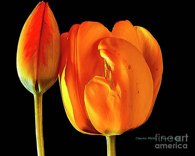 Photograph - Spring Tulips V by Charles Muhle