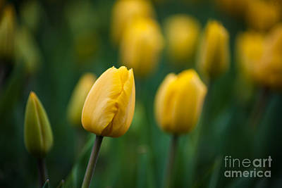 Spring Tulips Yellow Art Print