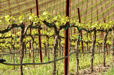 Spring Vineyard In Napa California Art Print by Brandon Bourdages