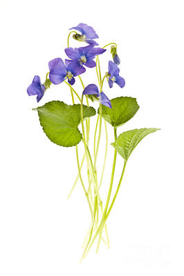 Spring Violets On White Art Print by Elena Elisseeva