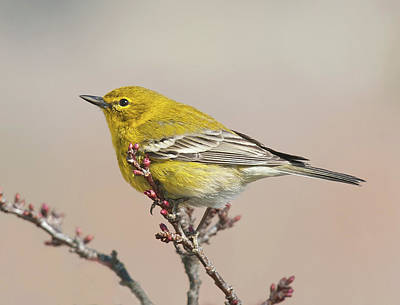 Photograph - Spring Warbler 1 2017 by Lara Ellis