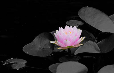 Photograph - Spring Water Lily by Jeff Severson
