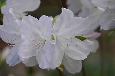 Photograph - Spring White Azaleas by Maria Urso