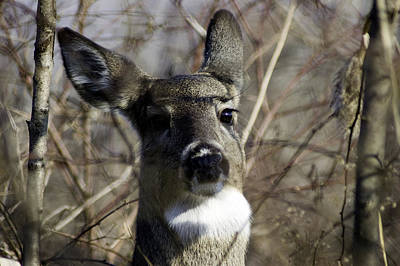 Photograph - Spring Whitetail by Wade Clark
