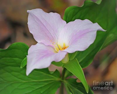 Photograph - Spring Wildflower - Trillium by Kerri Farley
