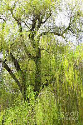 Photograph - Spring Willow by Frank Townsley
