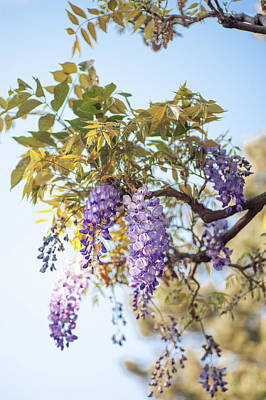 Photograph - Spring Wisteria Bloom by Jenny Rainbow