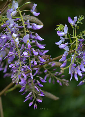 Photograph - Spring Wisteria Blooms by Jeanette C Landstrom