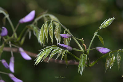Photograph - Spring Wisteria Foliage by Jeanette C Landstrom