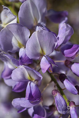 Photograph - Spring Wisteria by Joy Watson
