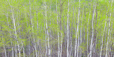 Photograph - Spring Woods by Alan L Graham