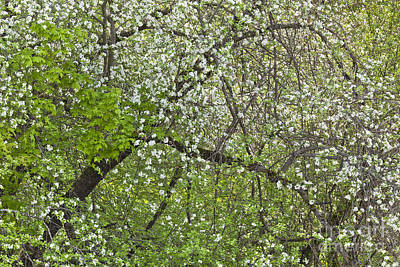Photograph - Spring Woods Canopy by Alan L Graham