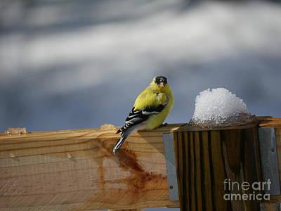 Photograph - Spring Yellow Finch by Nancie DeMellia
