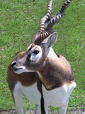 Photograph - Springbok Portrait by Merton Allen