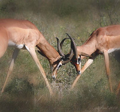 Photograph - Springbok Samburu Kenya by Joseph G Holland