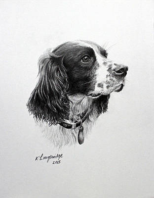 Spaniel Drawing - Springer by Karen Loughridge